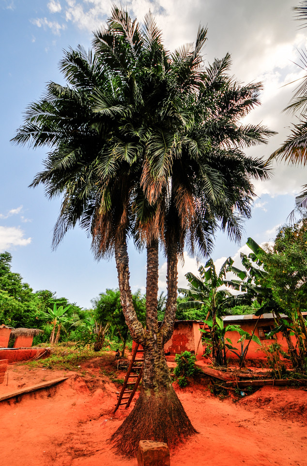 Three Trunked Palm Tree, Ghana