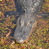 American Crocodile in the Everglades