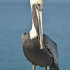 Brown Pelican in the Florida Keys