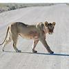 Lion in Etosha, Namibia
