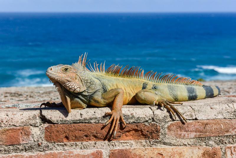 Iguana in El Morro - San Juan, Puerto Rico