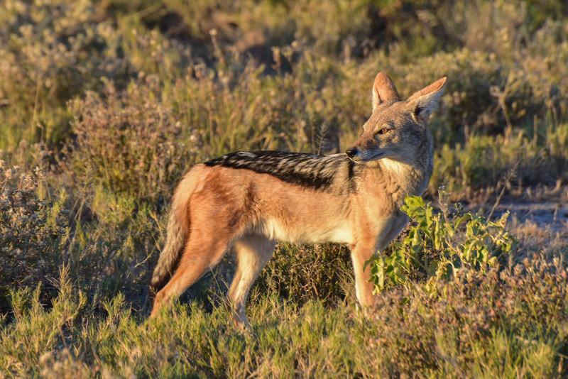 Jackal - Etosha, Namibia