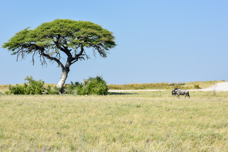 Wildebeest in Etosha National Park