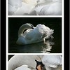 """Swans don't get THAT beautiful by accident: they are the ultimate """"preeners"""" among birds and take the task very seriously. A """"preen gland"""" which produces a waxy oil is located near their tail and the swan spreads it throughout their feathers to waterproof, strengthen, beautify and insulate them. This mute swan is part of a feral swan population on Hanover Pond in Meriden, Connecticut & appears in many of my pictures."""