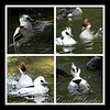 Mr and Mrs Smew