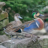 """Won't You Reconsider"" (Baikal Teal Couple)"