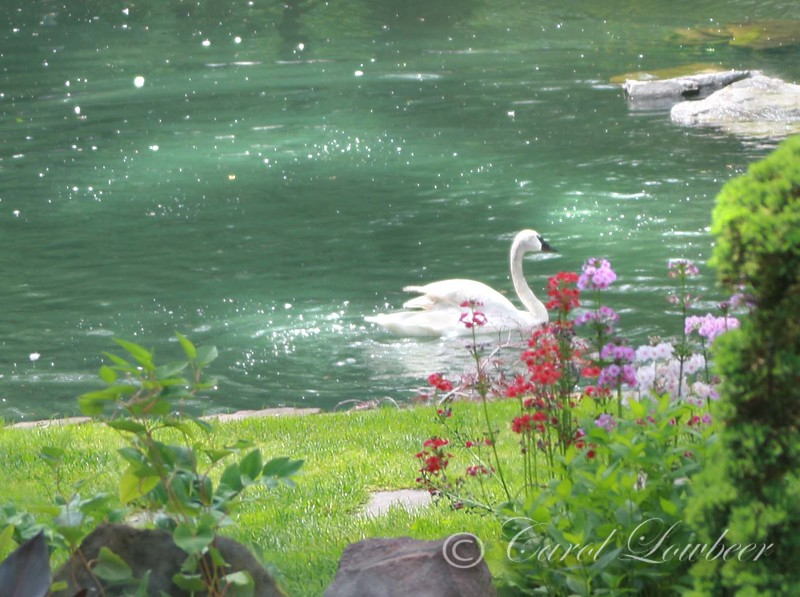 Trumpeter Swan in Spring Time