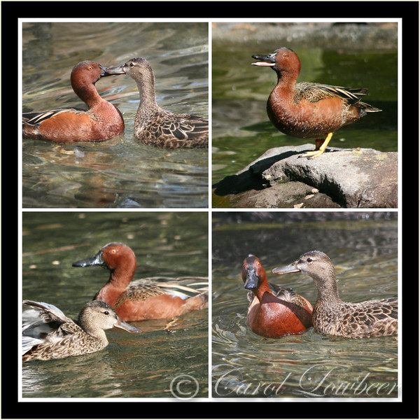 "Cinnamon Teal ""The Reluctant Suitor"""