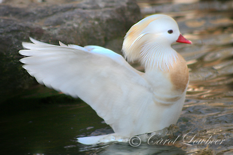 White Mandarin Spreading Its Wings