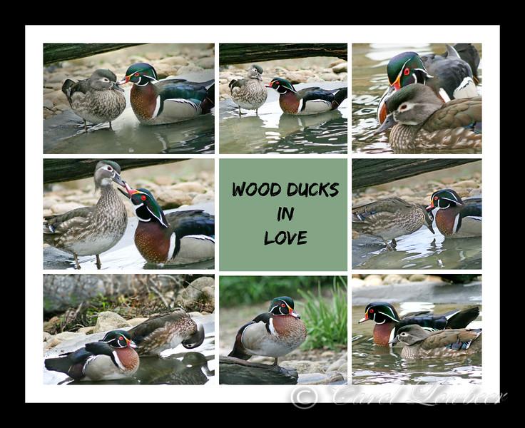 Wood ducks in Love: Beak to Beak