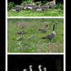 "Processions of geese & their cute offspring is a common sight on Livingston Ripley's beautiful grounds.  Here, many generations parade single file. Top: The Lesser White Fronted Goose (an endangered species from Russia), a Snow Goose Family (bottom) and in the middle,  a ""mixed family"" led by a visiting Canada Goose parades for us."