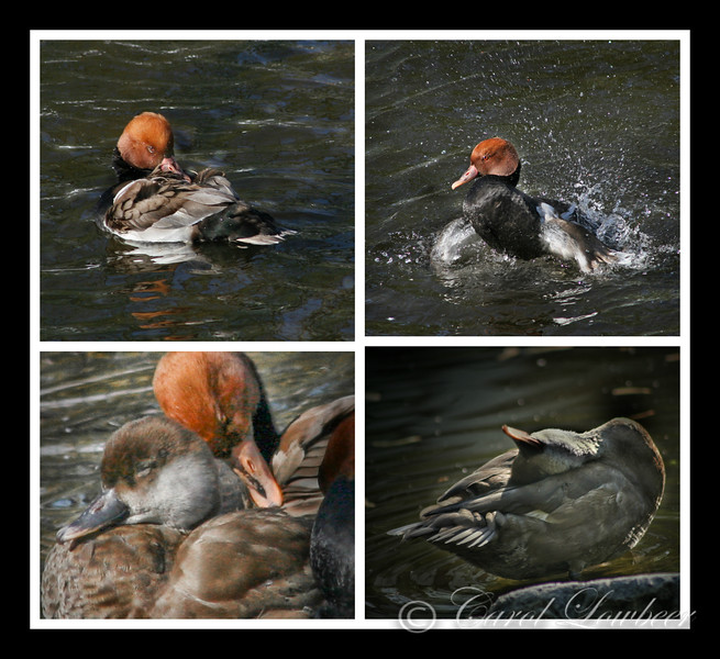 """Clean at last"" – The Rinse of the Red Crested Pochard"