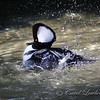Hooded Merganser On the Move