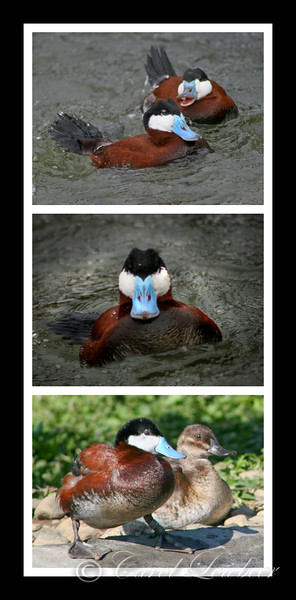 "Ruddy Ducks: ""Stay Away from my Woman!"""