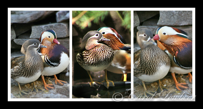 Mandarin Duck Sweeties