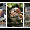 Mandarin Duck Sweeties