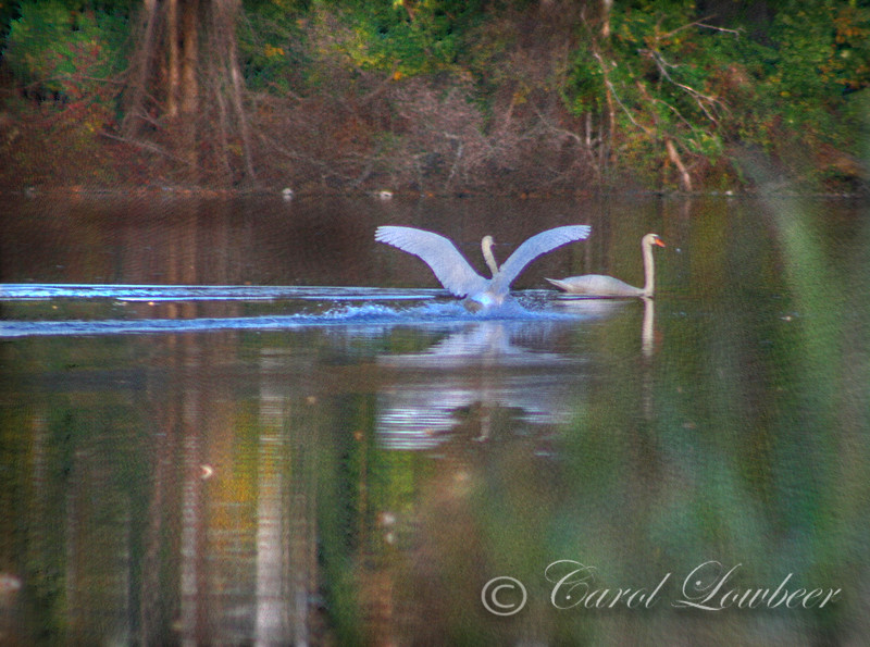 Hanover Swans at Twilight