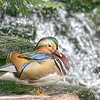 Mandarin by a Waterfall