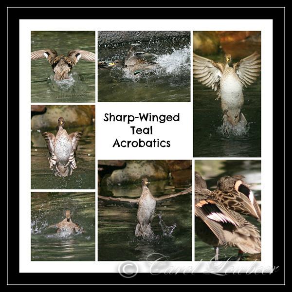 Sharp Winged Teal Acrobatics
