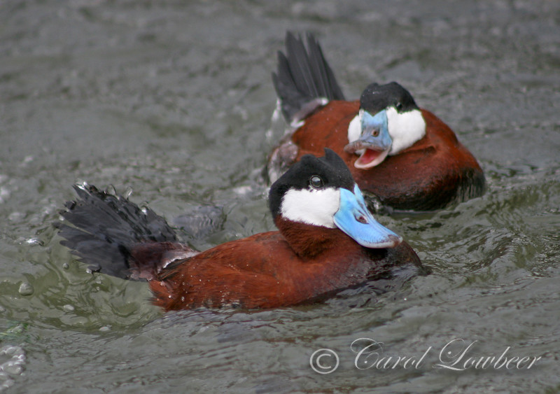 """With his snub-nosed, belligerent profile and glowing colors, the ruddy duck is an engaging and delightful bird to see and never more so than when indulging in the elaborate courtship of his species. Then he is at his electric best.<br /> --Fenwick Lansdowne, e1980"
