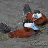 Ruddy Duck and his competitor