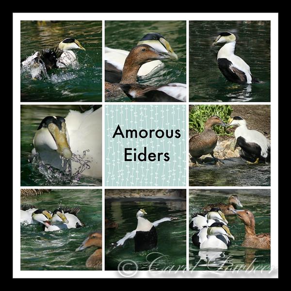 Amorous Eiders