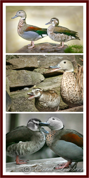 Ringed Teal Drams & Romances