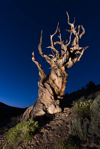 Bristlecone Snag, California