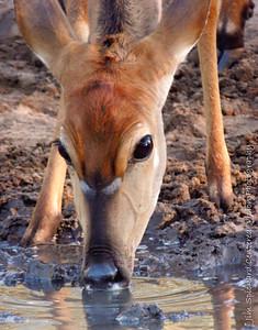 Nyala at the Waterhole