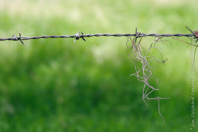 Moss on Barbed Wire