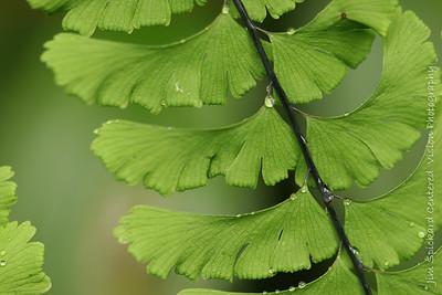 Slanted Fern