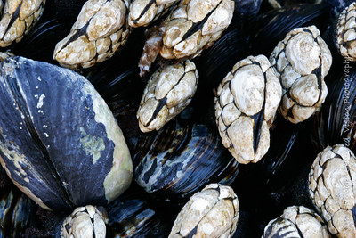 Mussels & Barnacles