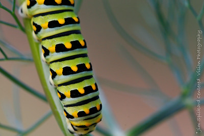 Caterpillar on Fennel
