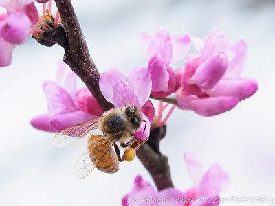 Bee in the Redbuds