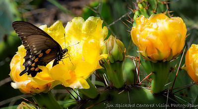 Butterfly and Cactus Flowers