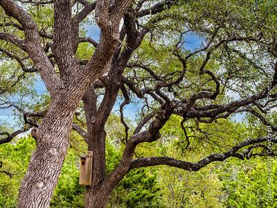Oaks with Owl Box