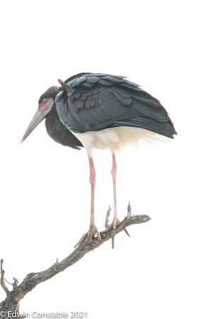 Cicconia abdimii, Abdim's stork