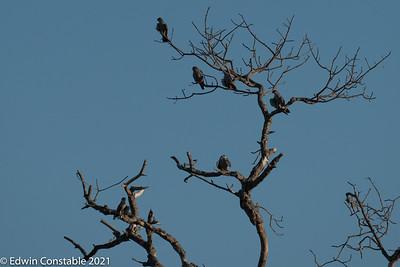 Falco amurensis, Amur falcons