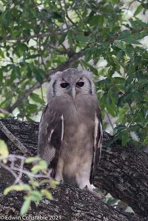 Bubo lacteus, Giant eagle owl, Verreaux's eagle owl