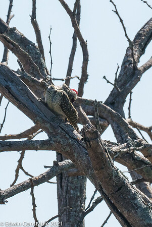 Campethera bennettii, Bennett's woodpecker