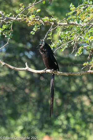 Corvinella melanoleuca, Magpie shrike