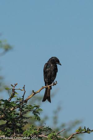 Dicrurus adsimilis, Fork-tailed drongo