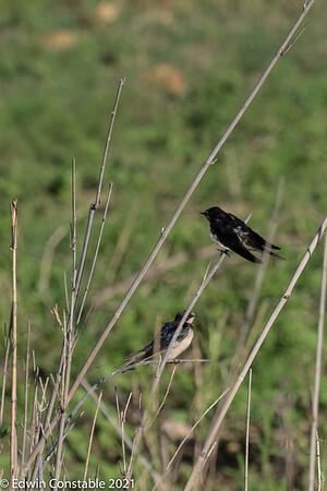 Hirundo rustica, Barn swallow