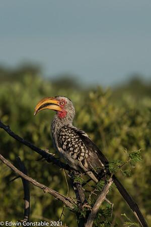 Tockus leucomelas, Southern yellow-billed hornbill