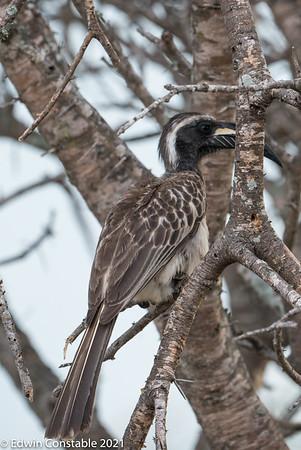 Tockus nasutus, African grey hornbill