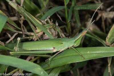 Acrida acuminata, Common stick grasshopper