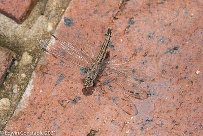 Brachythemis leucosticta, Banded groundling