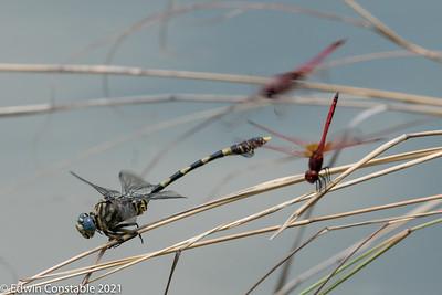 Ictinogomphus ferox, male, Common tigertail, Trithemis arteriosa, Red-veined dropwing, Trithemis annulata, Violet dropwing