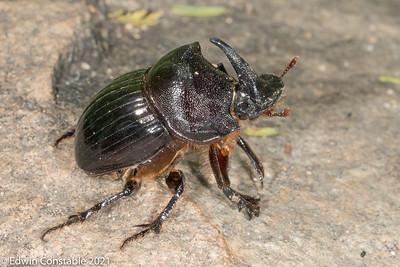 Copris mesacanthus, Nursing dung beetle