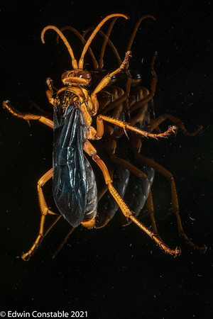 Hemipepsis tamisieri, Spider-hunting Wasp